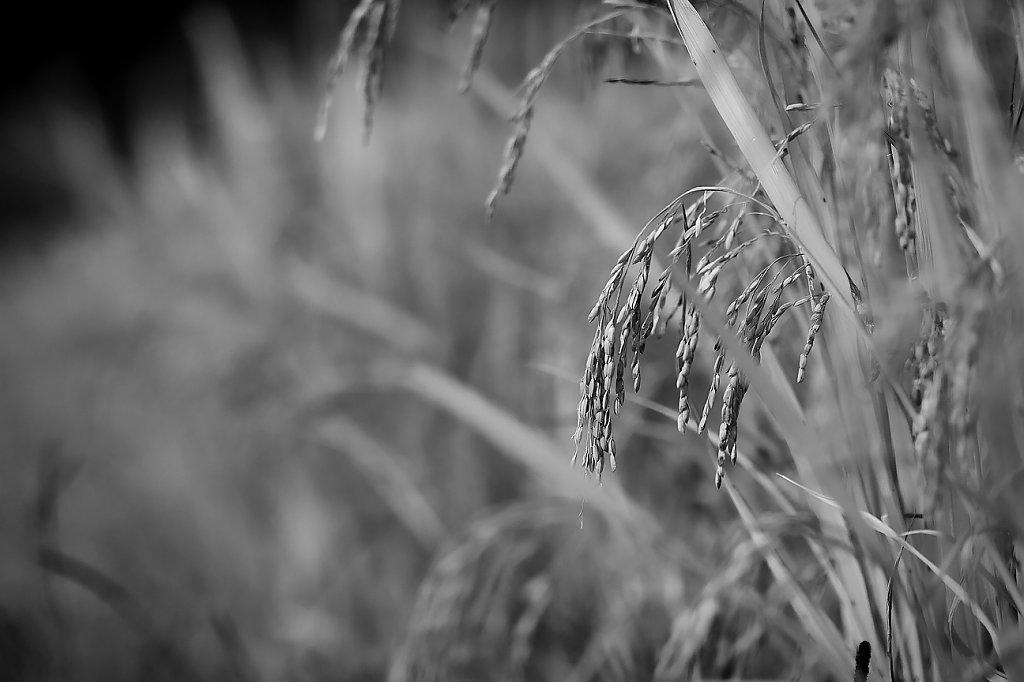 IMG-7049-rice-fieldVII