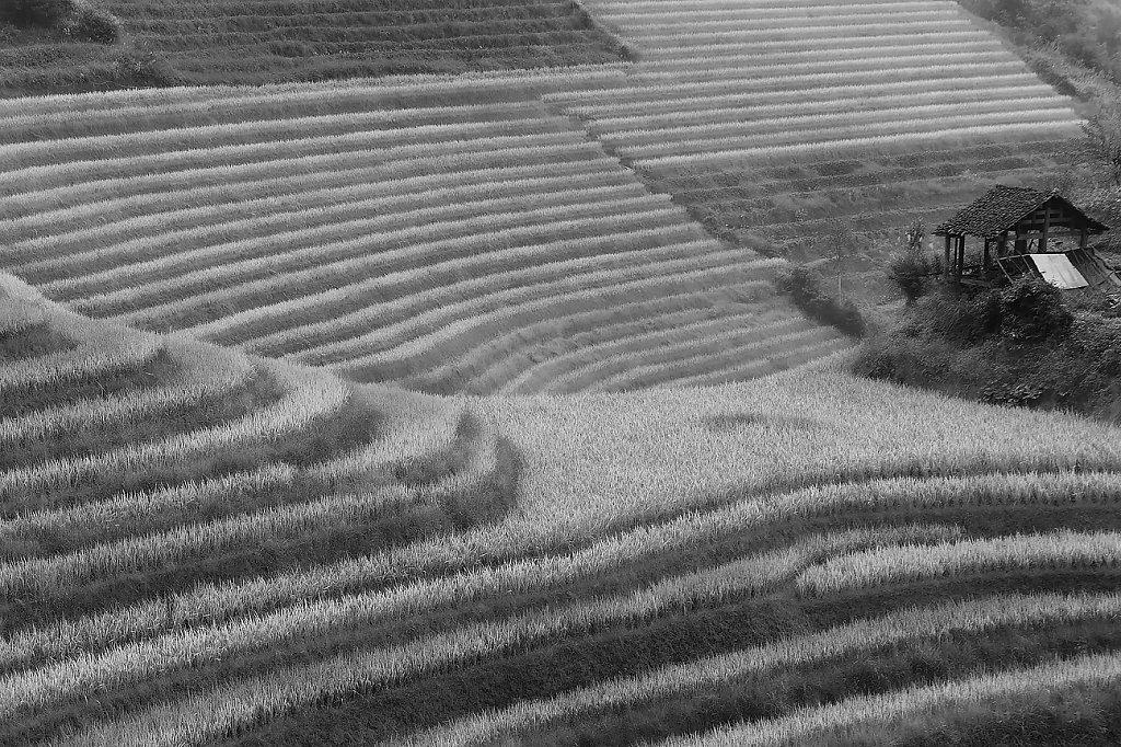 IMG-6885-rice-fieldVI